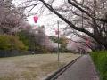 蒲郡市中央公園の桜2