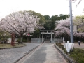 蒲郡市中央公園の桜3