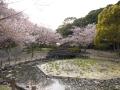 蒲郡市中央公園の桜4