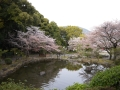 蒲郡市中央公園の桜5