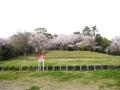 蒲郡市中央公園の桜6