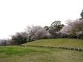 蒲郡市中央公園の桜8