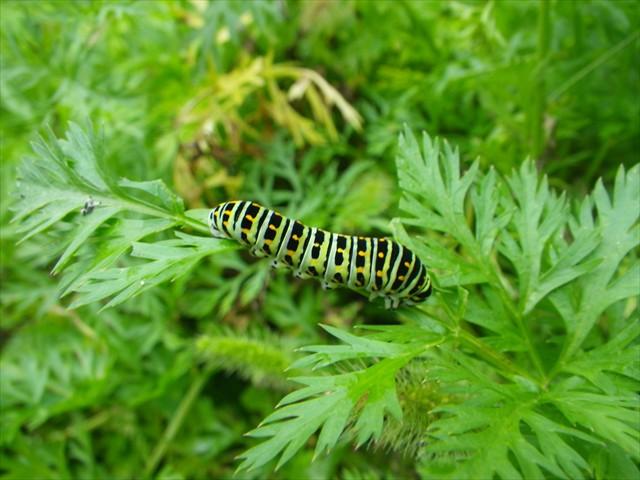 ニンジン畑でキアゲハの幼虫を発見!