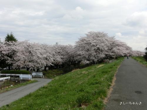 荒川土手の桜2014_02