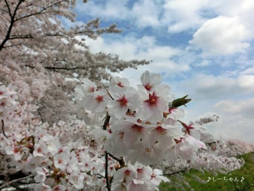 荒川土手の桜2014_05