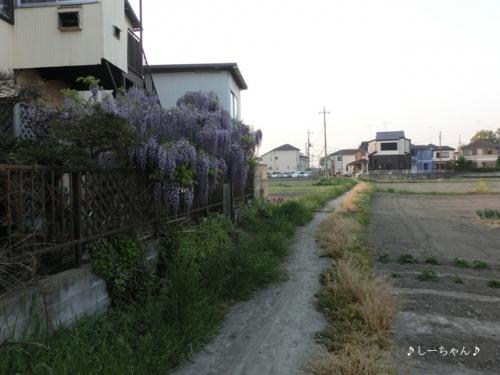 藤の花2014_03