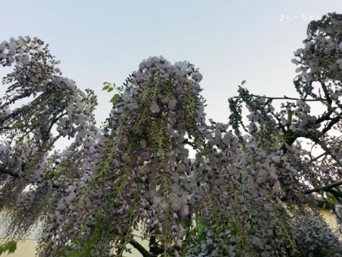 藤の花2014_04