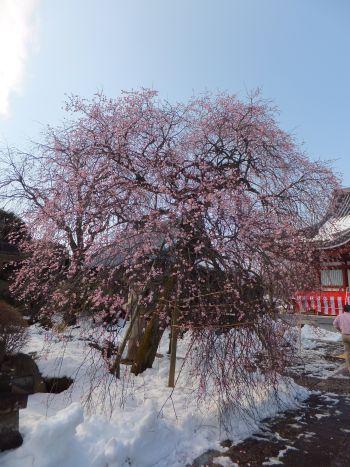 宏善寺の梅1