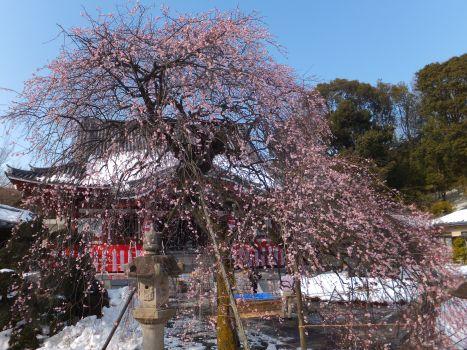 宏善寺の梅2