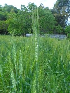 麦 (225x300)