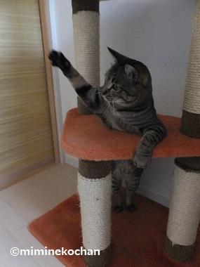 キジトラ猫 ミミ 片手をあげて