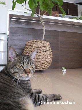 キジトラ猫 ミミ