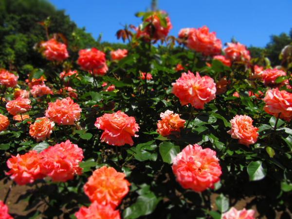 空色とバラは、やっぱり合う。