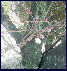 桜 0328