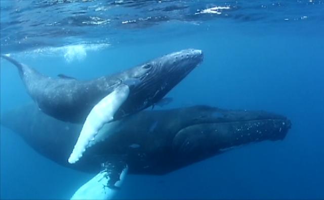 ザトウクジラの母子1 (2014-03-05 9-45)