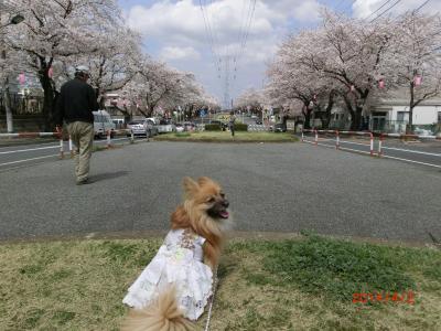 頑張れ桜たち