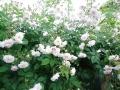 バラの庭2014.5.15-11