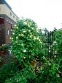 バラの庭2014.5.15-2
