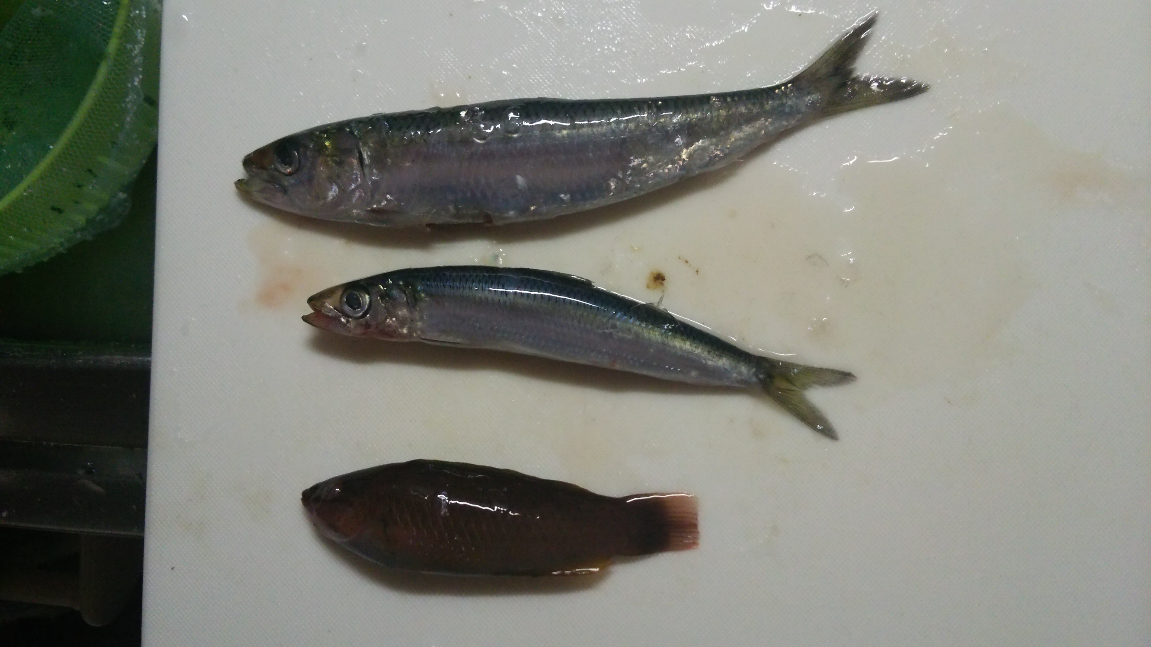 三崎港の釣果