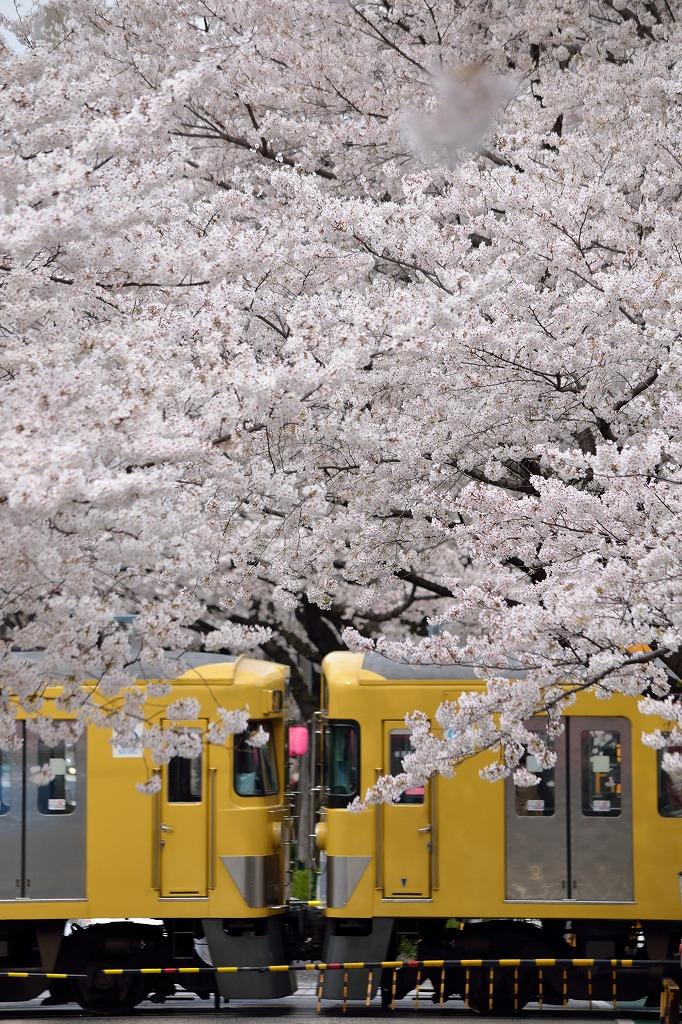 桜×西武線2_140402
