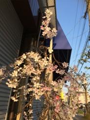 しだれ桜2014-2
