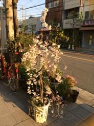 しだれ桜2014-1