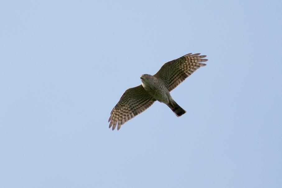 140402ツミオス幼鳥