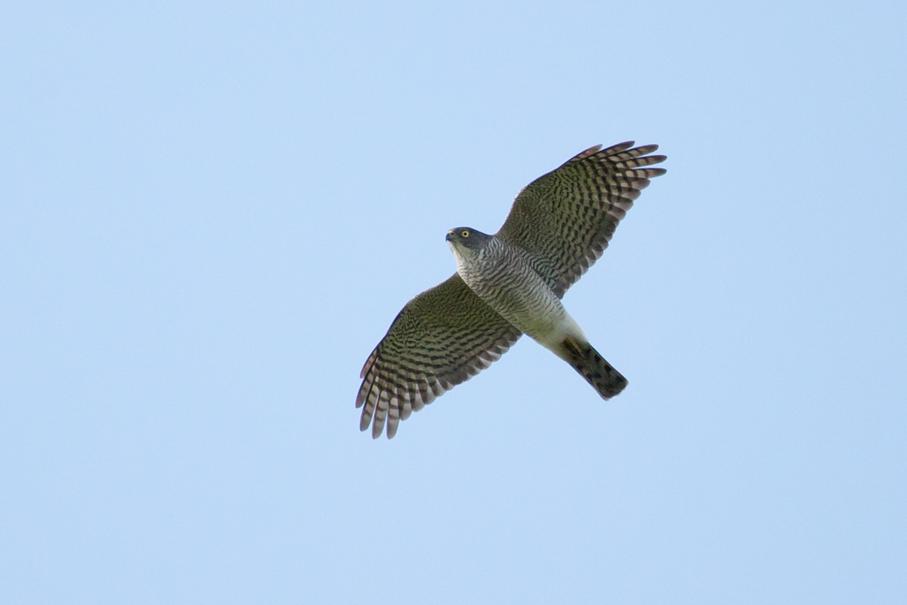 140402ツミメス成鳥1