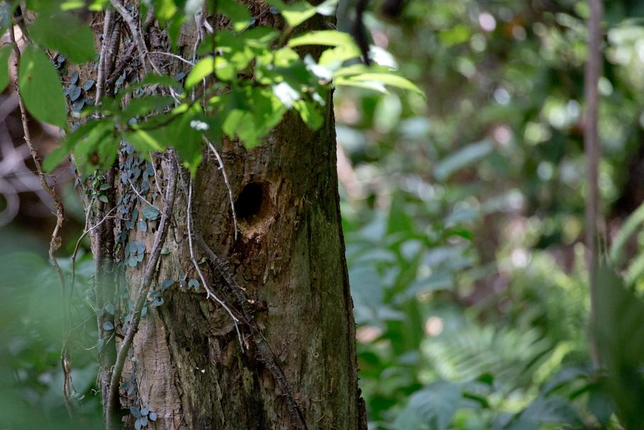 140502リュウキュウアカショウビン巣