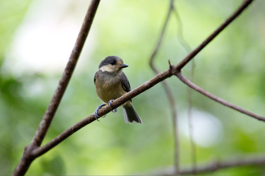 140507アマミヤマガラ幼鳥1
