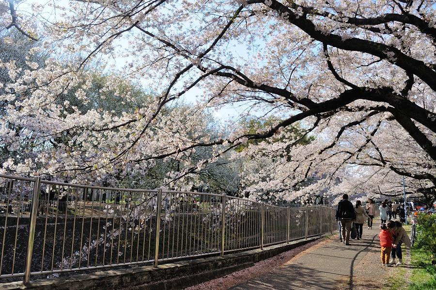 善福寺川緑地桜 (6)