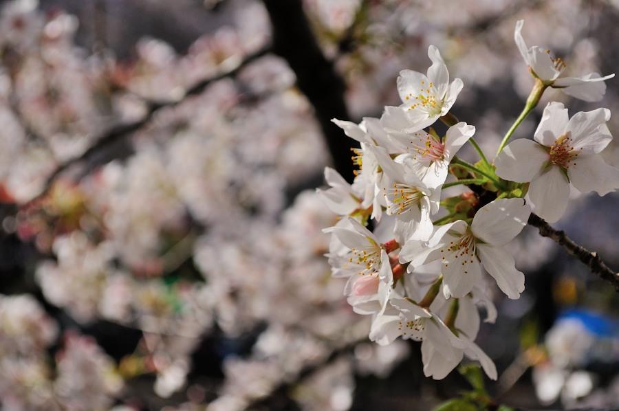 善福寺川緑地桜 (3)