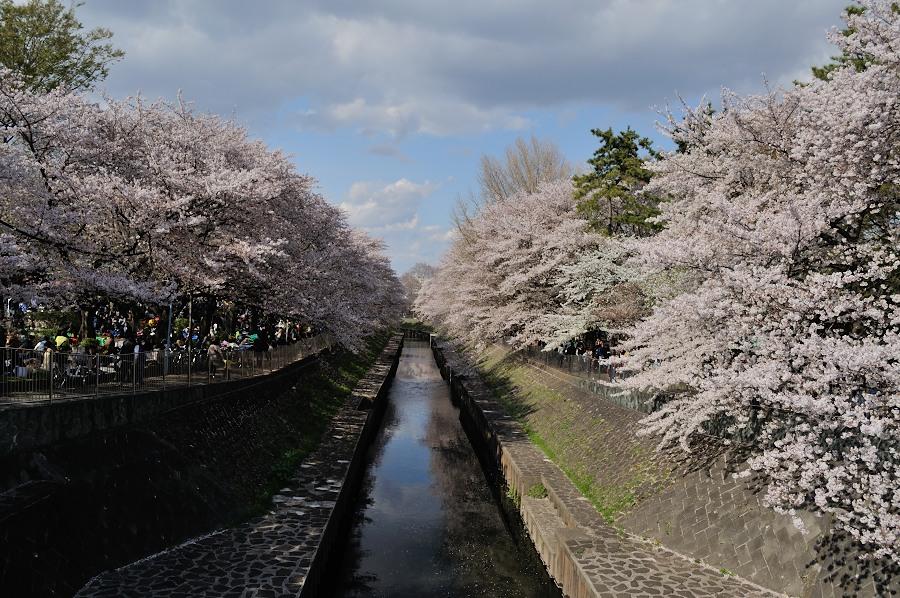 善福寺川緑地桜