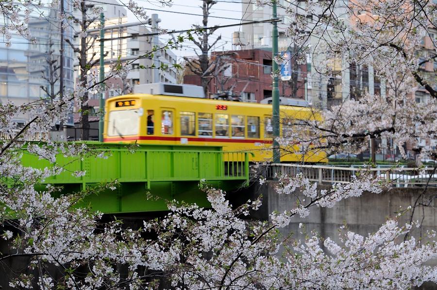 高田馬場桜__01