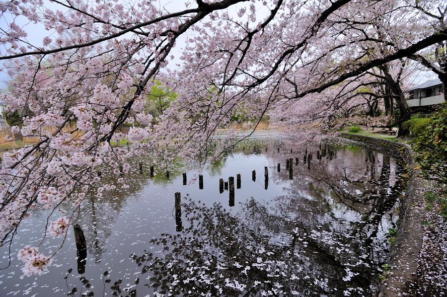 善福寺桜__05