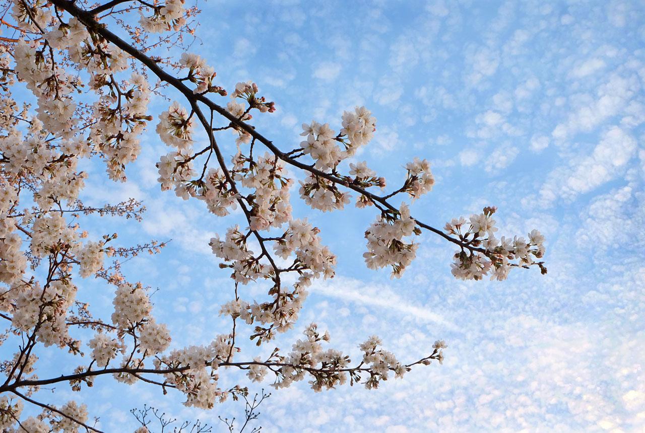 1938 桜と雲 1280×860