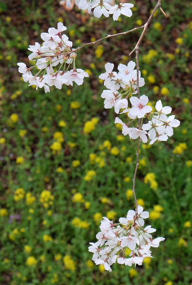 2043 桜と菜の花 645×960
