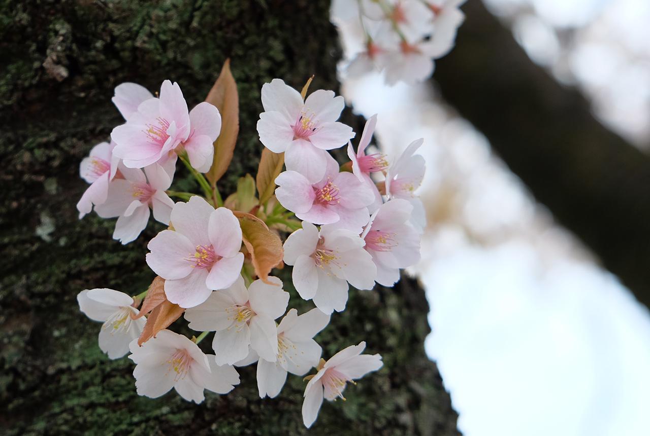 2051 花束のような桜 1280×860
