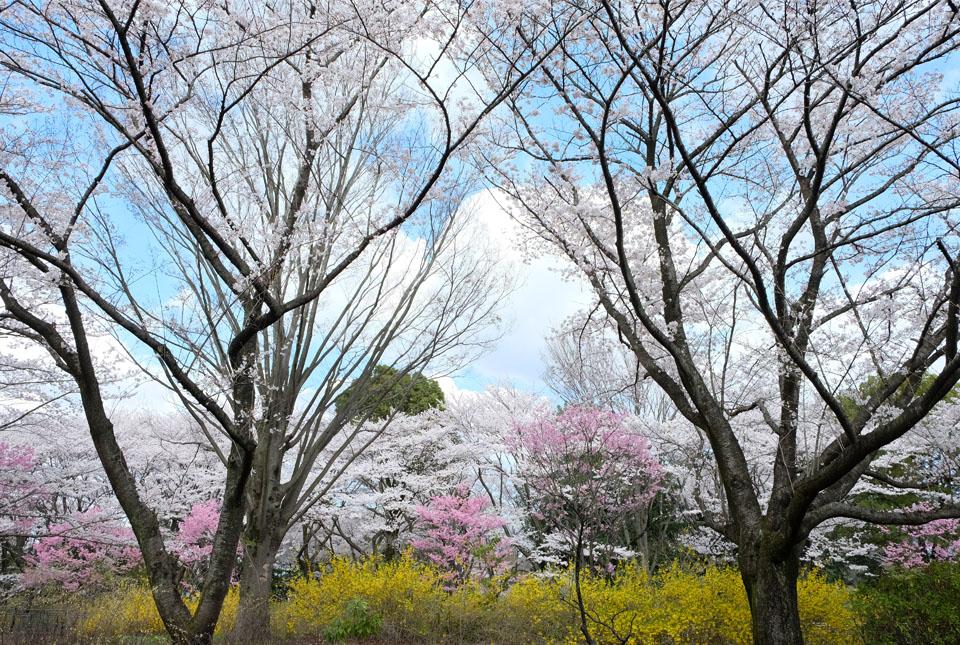 2152 残堀川沿いの桜 960×645