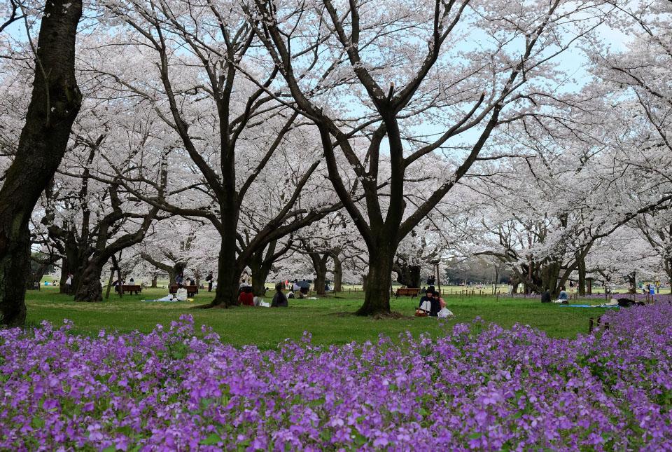 2175 桜の園 960×645