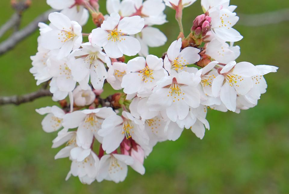2190 桜の園にて 960×645