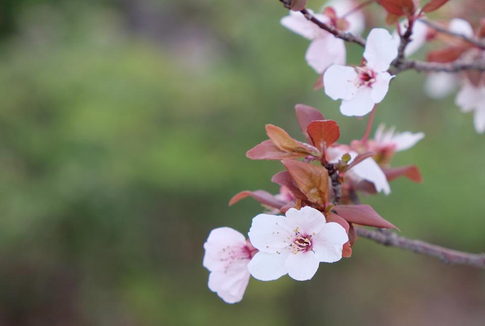 2198 何桜? 960×645