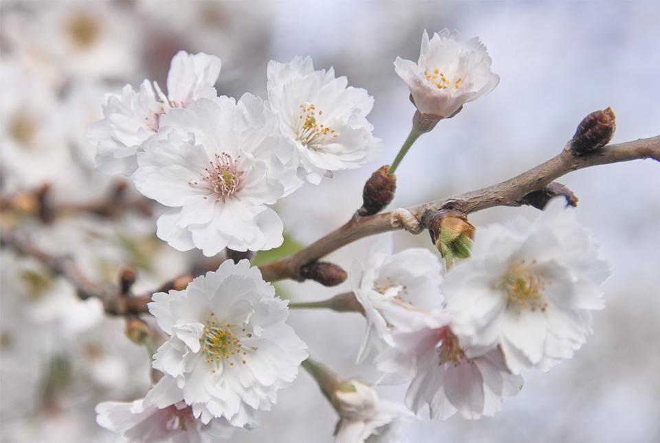 2262 十月桜 960×645