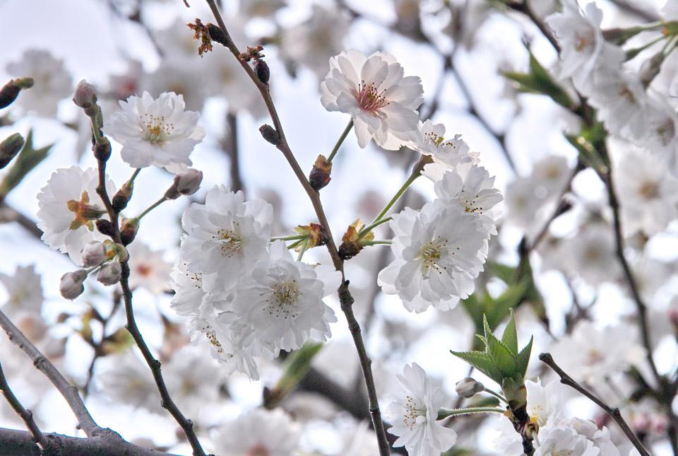 2322 十月桜 960×645