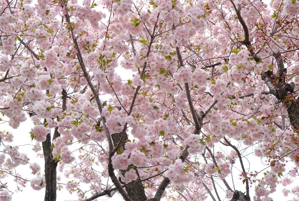 2576 八重桜 960×645