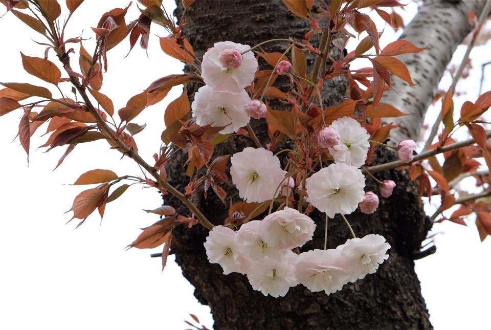 2583 八重桜 960×645