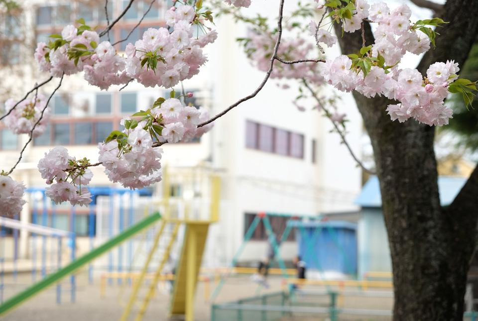 2614 小学校の八重桜 960×645