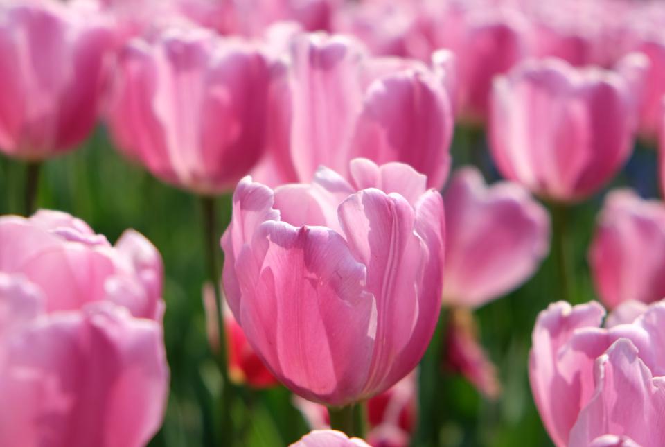 2889 Pink Flag 960×645