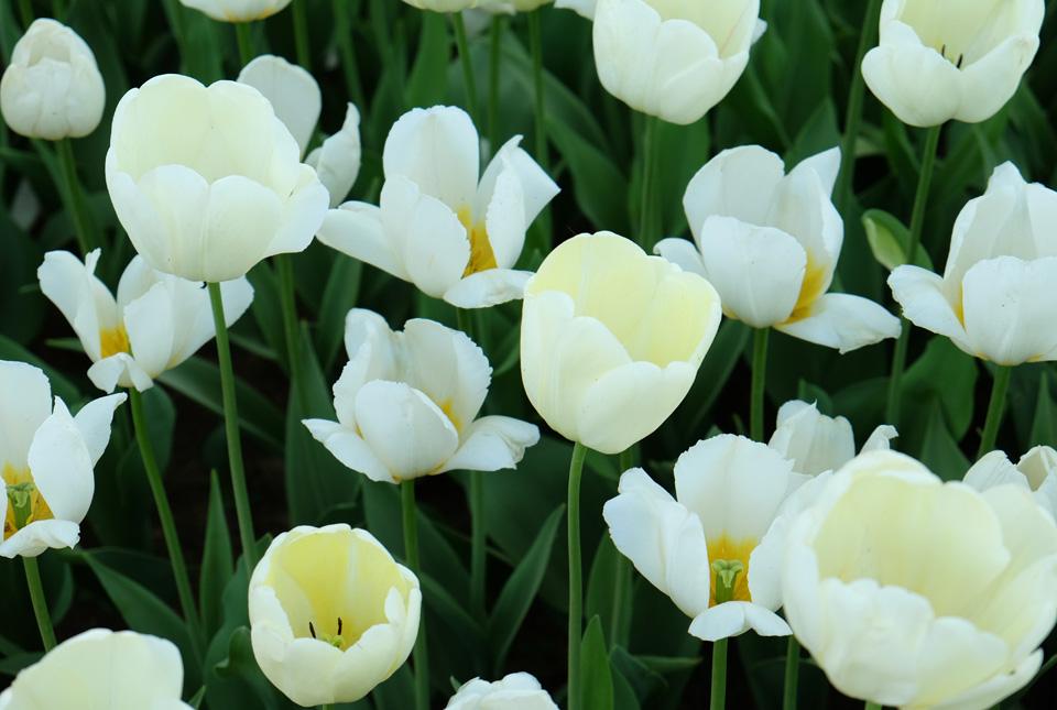 2941 Ivory Floradale Paysbas 960×645