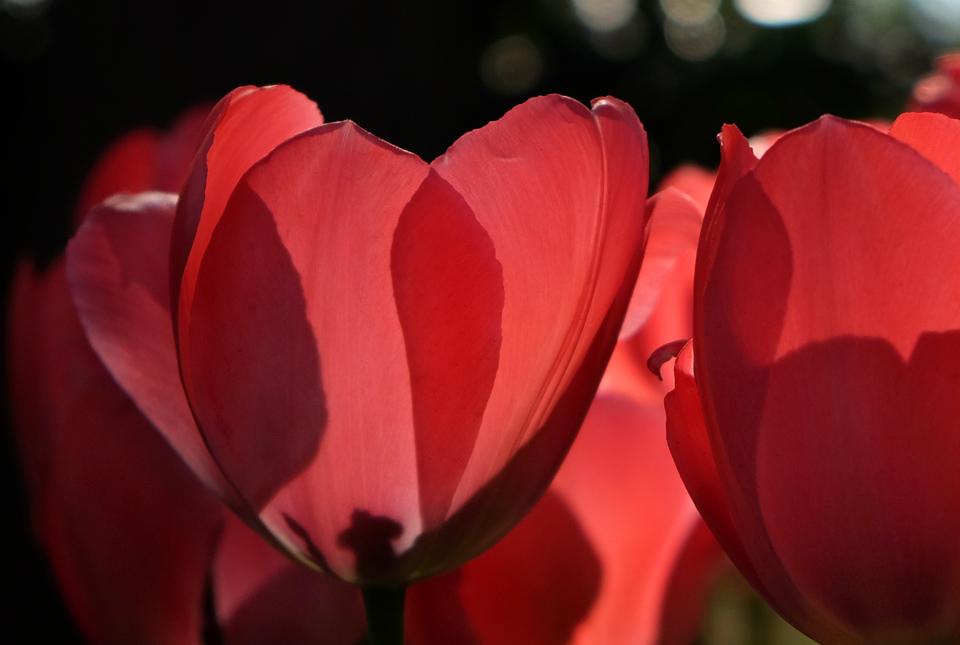 2987 透ける花弁3 960×645